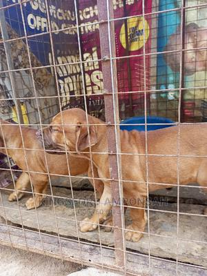 1-3 Month Female Mixed Breed Boerboel | Dogs & Puppies for sale in Ashanti, Offinso Municipal