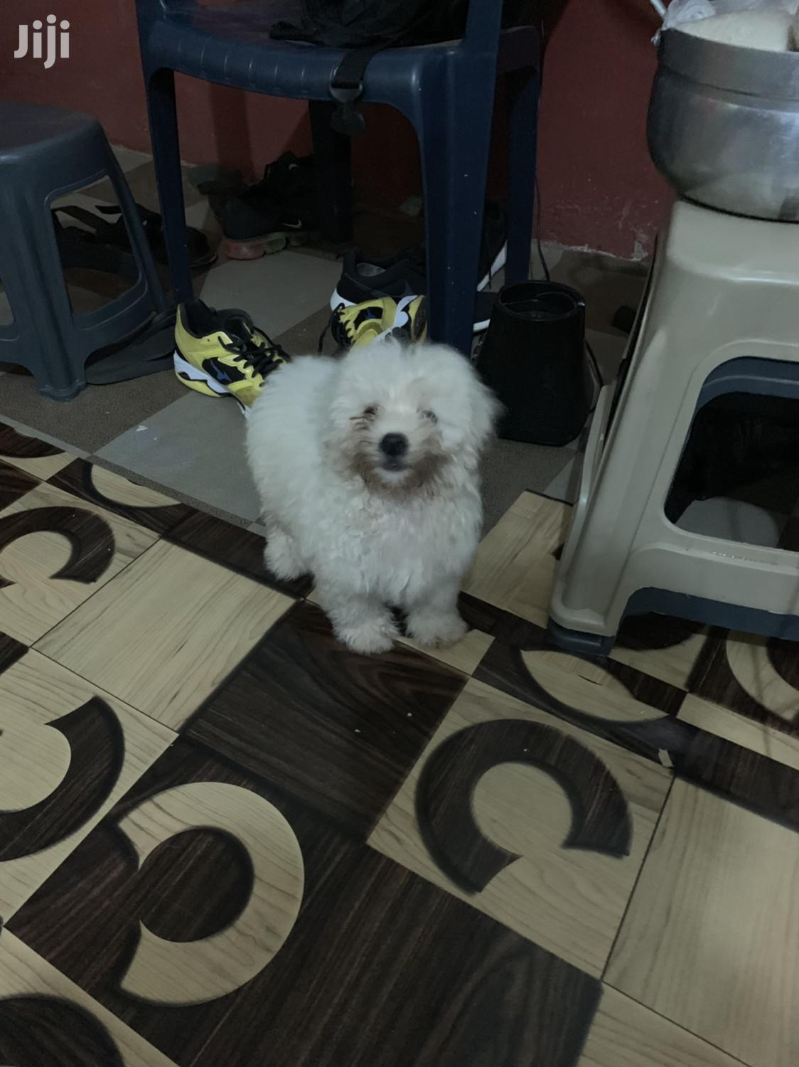 Baby Male Purebred Maltese | Dogs & Puppies for sale in Adenta Municipal, Greater Accra, Ghana
