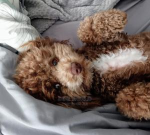 3-6 Month Male Purebred Poodle | Dogs & Puppies for sale in Greater Accra, Airport Residential Area