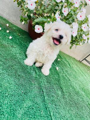 1-3 Month Male Purebred Maltese | Dogs & Puppies for sale in Greater Accra, Airport Residential Area