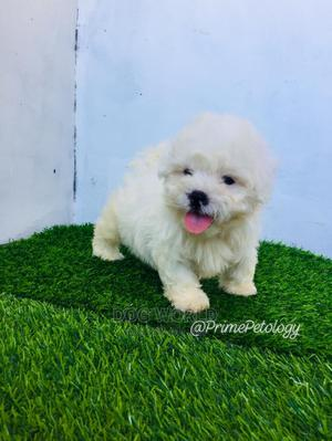 1-3 Month Male Purebred Maltese | Dogs & Puppies for sale in Greater Accra, East Legon