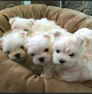 1-3 Month Male Purebred Maltese | Dogs & Puppies for sale in Greater Accra, Spintex