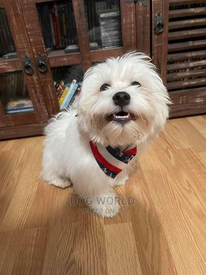 3-6 Month Male Purebred Maltese | Dogs & Puppies for sale in Greater Accra, Haatso
