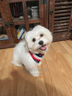 1-3 Month Male Purebred Maltese | Dogs & Puppies for sale in Greater Accra, Haatso