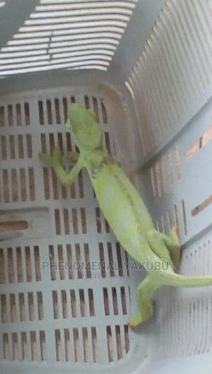 Chameleon for Sell   Reptiles for sale in Northern Region, Tamale Municipal