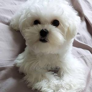1-3 Month Female Purebred Maltese   Dogs & Puppies for sale in Greater Accra, Kasoa