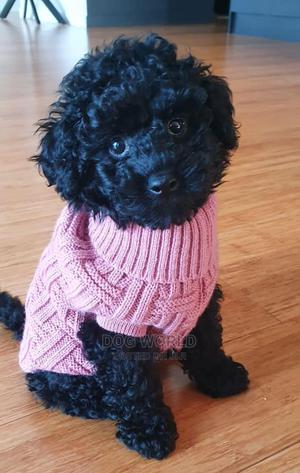 3-6 Month Male Purebred Poodle | Dogs & Puppies for sale in Greater Accra, Kasoa