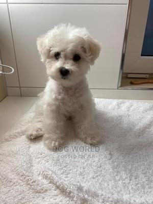 3-6 Month Male Purebred Maltipoo | Dogs & Puppies for sale in Greater Accra, Lapaz