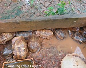 Dnfarms (Tortoise)   Reptiles for sale in Western Region, Wassa West