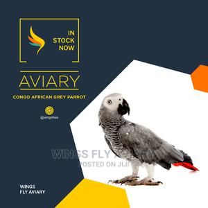 Congo African Grey Parrot | Birds for sale in Greater Accra, Achimota