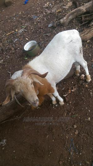 Good Animals Are Available Here Come for Yours Now | Other Animals for sale in Northern Region, Zabzugu/Tatale