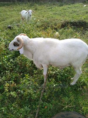Animals for Sale for Cool Prices | Other Animals for sale in Northern Region, Saboba