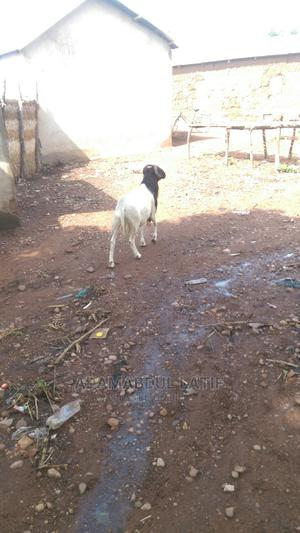 Animals Are Here for Saleing Anyboody Who Is Serious About | Other Animals for sale in Northern Region, Zabzugu/Tatale