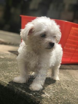 1-3 Month Male Purebred Maltese   Dogs & Puppies for sale in Ashanti, Kumasi Metropolitan