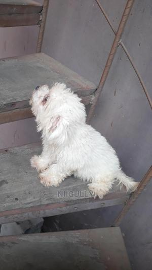 1-3 Month Male Purebred Maltese | Dogs & Puppies for sale in Greater Accra, Accra Metropolitan