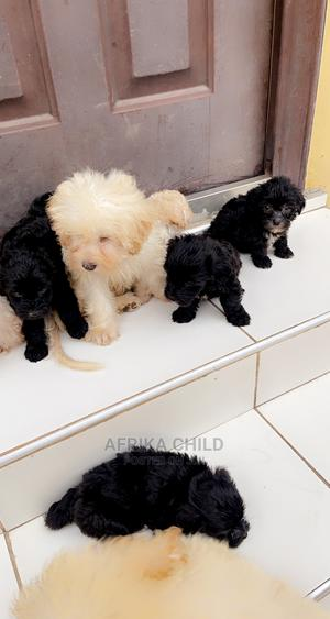 1-3 Month Male Purebred Maltese | Dogs & Puppies for sale in Greater Accra, Achimota