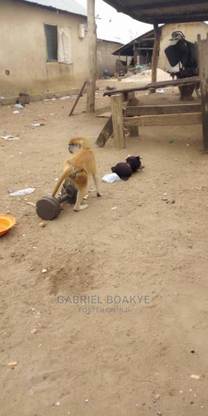 My One and Half Old Year Monkey | Other Animals for sale in Northern Region, Tamale Municipal