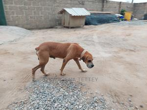 1+ Year Male Purebred Boerboel | Dogs & Puppies for sale in Central Region, Awutu Senya East Municipal