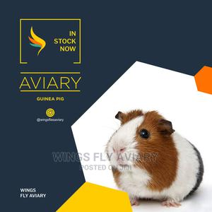 Domestic Guinea Pig   Livestock & Poultry for sale in Greater Accra, Achimota