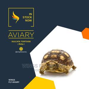 Sulcata Tortoise Baby   Reptiles for sale in Greater Accra, Achimota