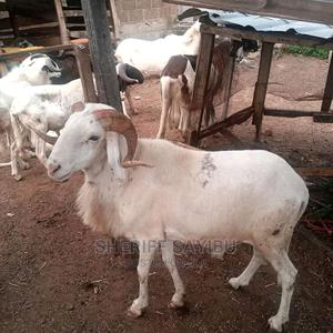 Call Me for One | Other Animals for sale in Northern Region, Chereponi
