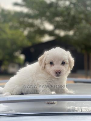 1-3 Month Male Purebred Maltese | Dogs & Puppies for sale in Greater Accra, Awoshie