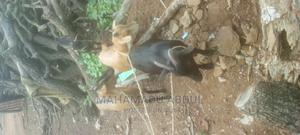 Easy to Deliver | Other Animals for sale in Northern Region, Tolon/Kumbungu
