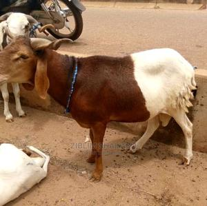 Selling Animals | Other Animals for sale in Northern Region, Saboba