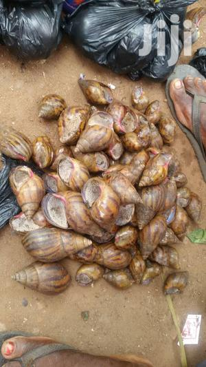 African Giant Snails For Sale | Other Animals for sale in Volta Region, Adaklu
