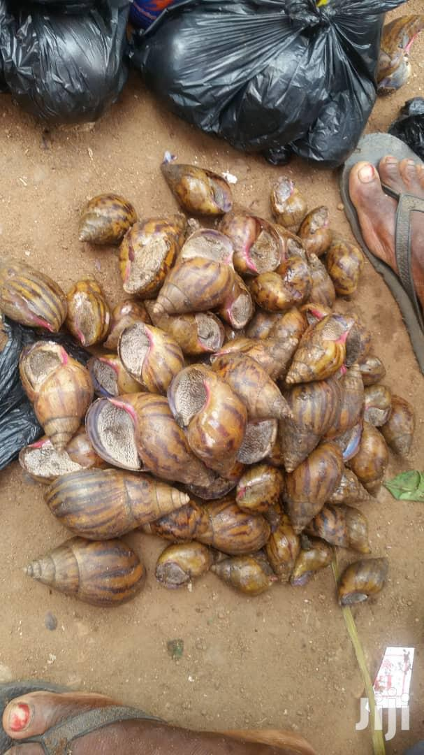 African Giant Snails For Sale