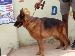 1+ Year Female Purebred German Shepherd | Dogs & Puppies for sale in Greater Accra, Adenta
