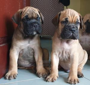1-3 Month Male Purebred Bullmastiff | Dogs & Puppies for sale in Greater Accra, Adenta