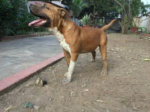 1+ Year Male Mixed Breed American Pit Bull Terrier | Dogs & Puppies for sale in Greater Accra, Accra Metropolitan