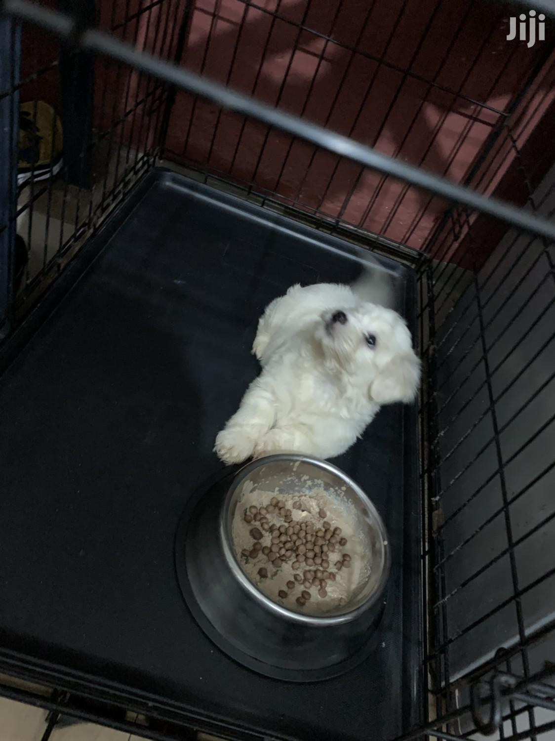 Baby Male Purebred Maltese   Dogs & Puppies for sale in Adenta Municipal, Greater Accra, Ghana