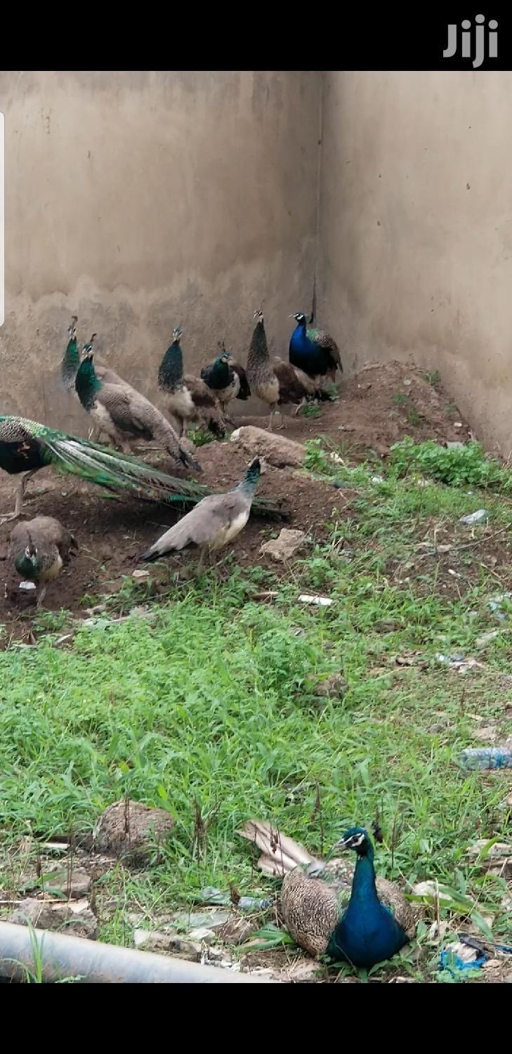 Pair Of Peafowls   Birds for sale in Adenta Municipal, Greater Accra, Ghana