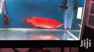Red Arrowana | Fish for sale in Ashanti, Kumasi Metropolitan