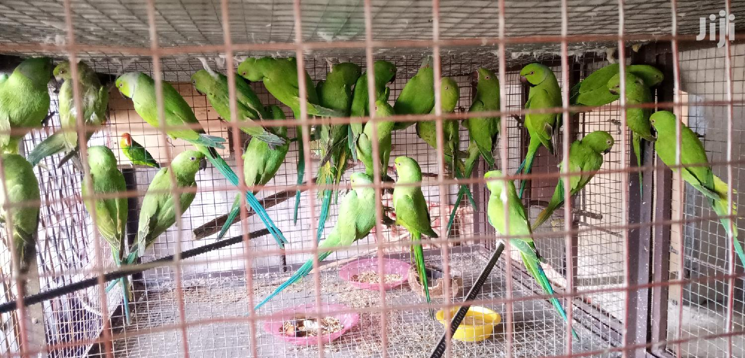 Ringneck Parrot | Birds for sale in Tema Metropolitan, Greater Accra, Ghana