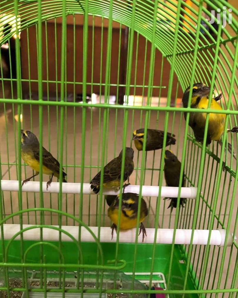 Beautiful Canary Bird | Birds for sale in Dansoman, Greater Accra, Ghana