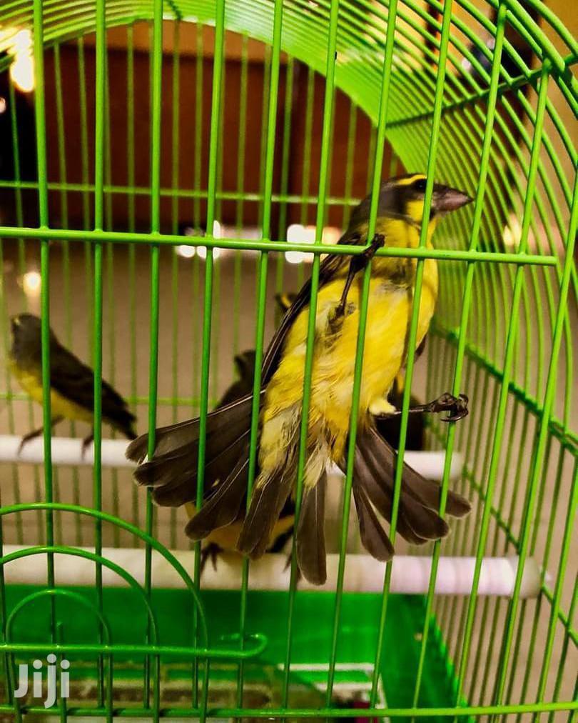Beautiful Canary Bird