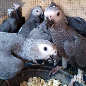 Congo African Grey Parrot Promotion | Birds for sale in Greater Accra, Tema Metropolitan