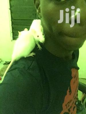 Albino Mice, Well Trained And So Playful | Other Animals for sale in Greater Accra, Ga South Municipal