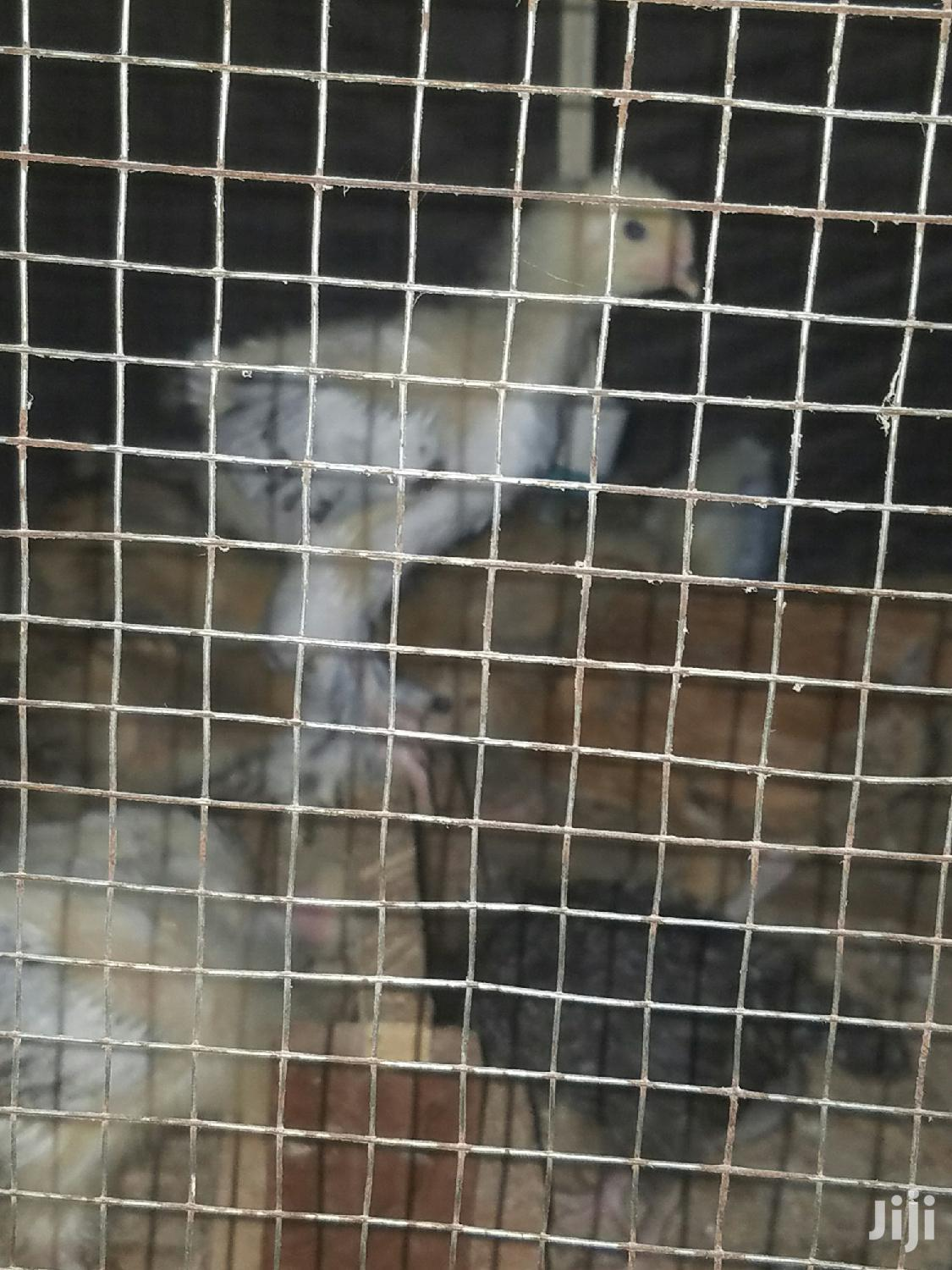 Day Old Inported Brahmas for Sale at Affordable   Livestock & Poultry for sale in Kumasi Metropolitan, Ashanti, Ghana
