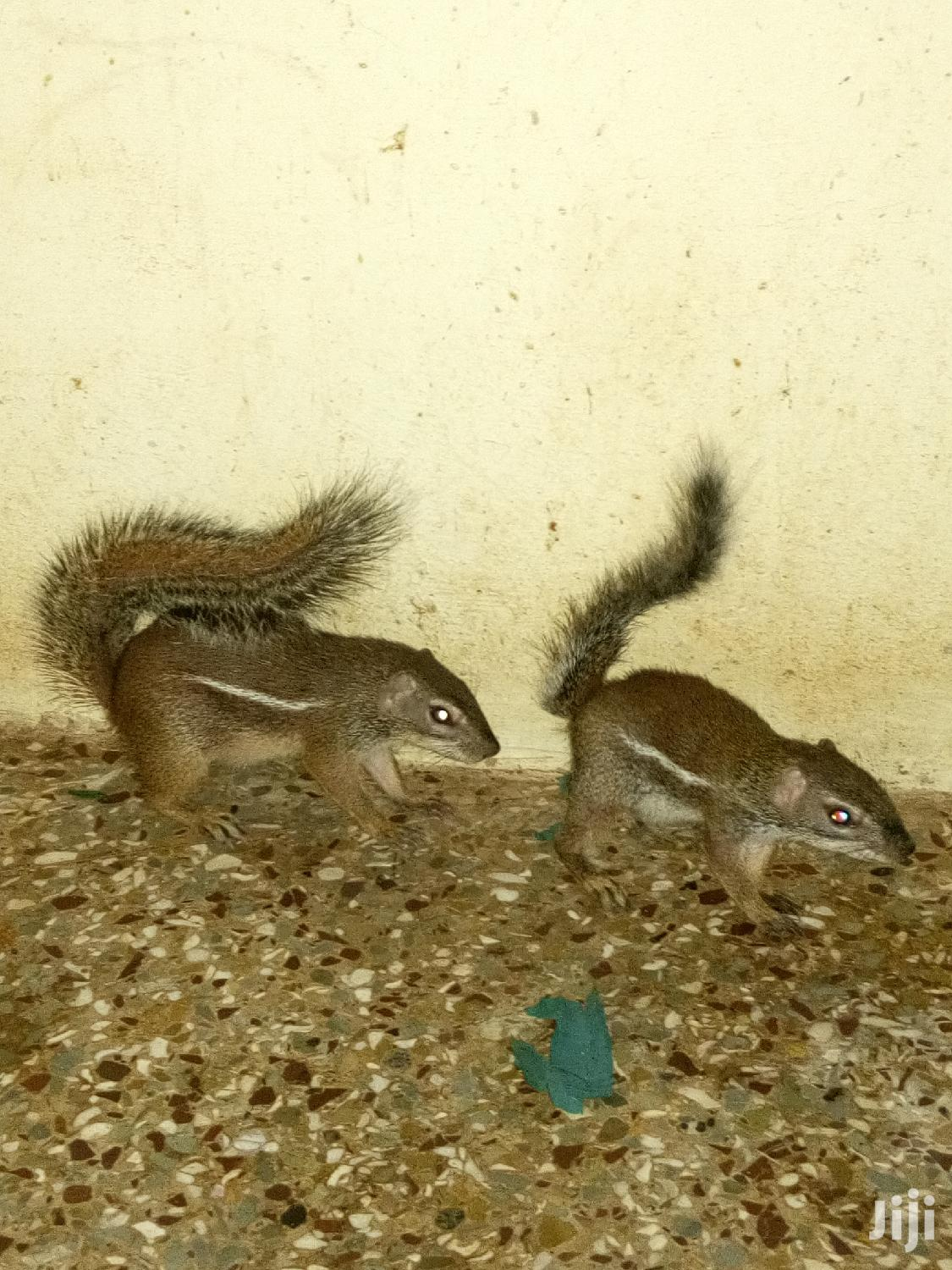 Archive: African Giant Land Squirrel