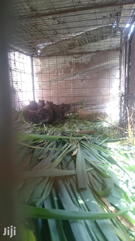 Grasscutter   Livestock & Poultry for sale in Awutu-Senya, Central Region, Ghana