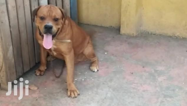 Cross With Dogo Argentino   Pet Services for sale in Ga East Municipal, Greater Accra, Ghana