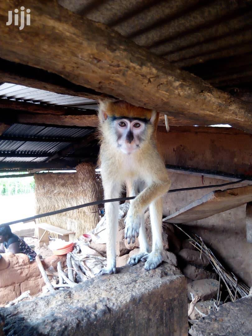 Infant Trained Monkey