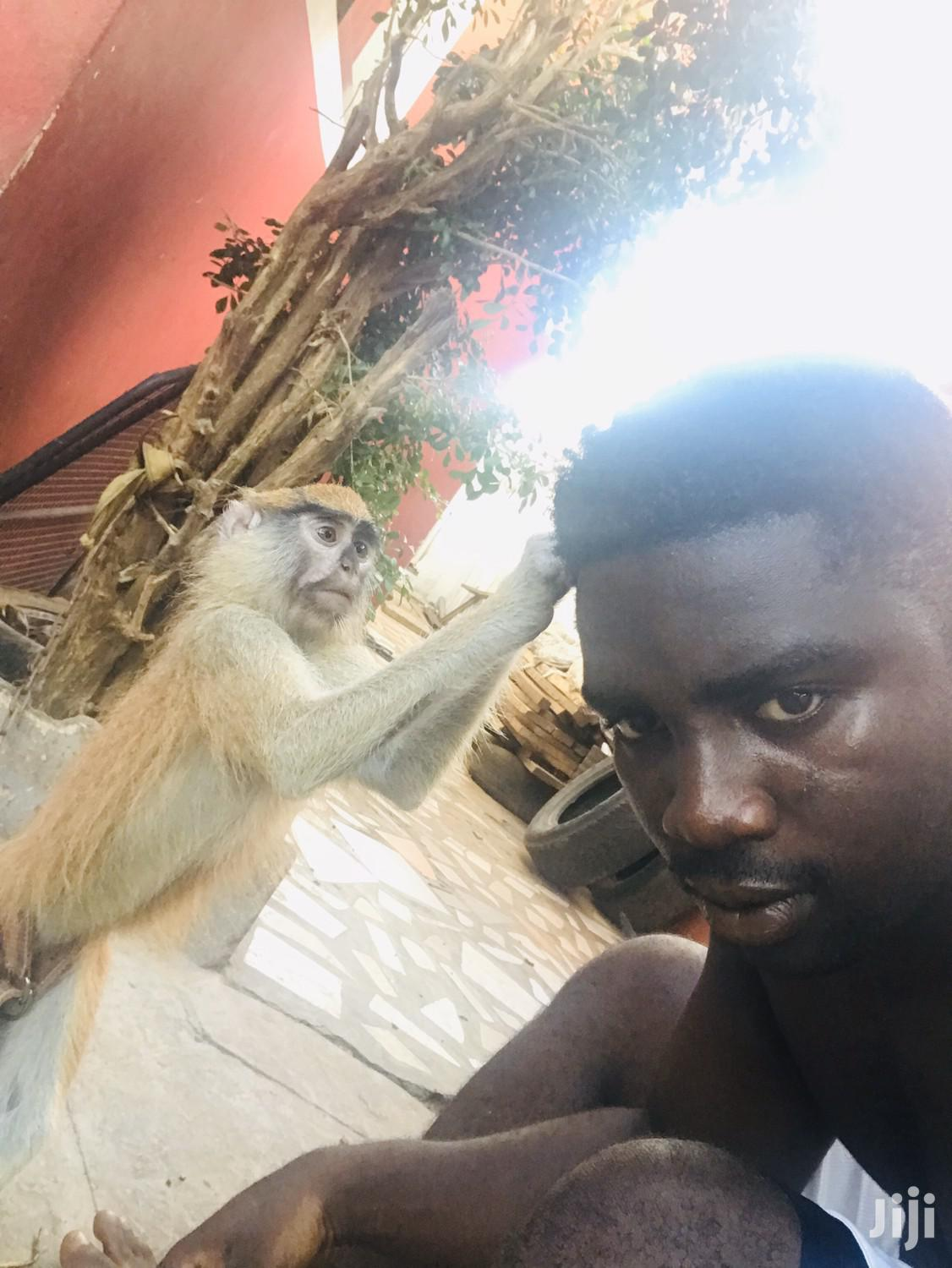 Infant Trained Monkey | Other Animals for sale in Tema Metropolitan, Greater Accra, Ghana