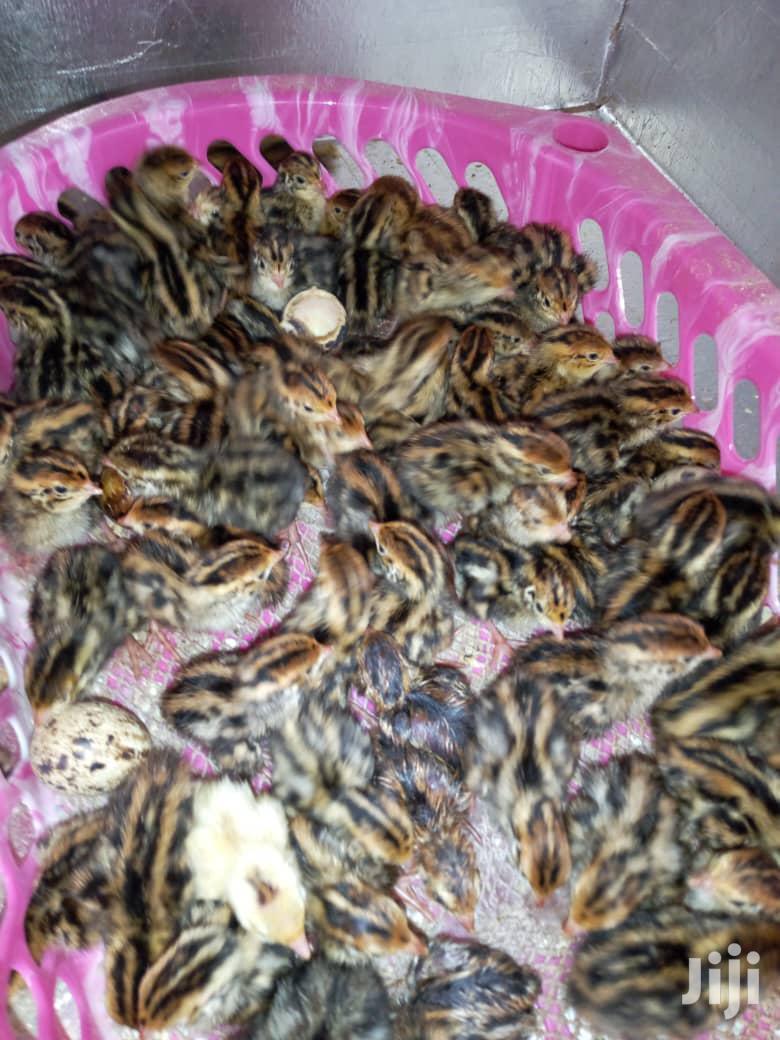 Archive: Quail Chicks