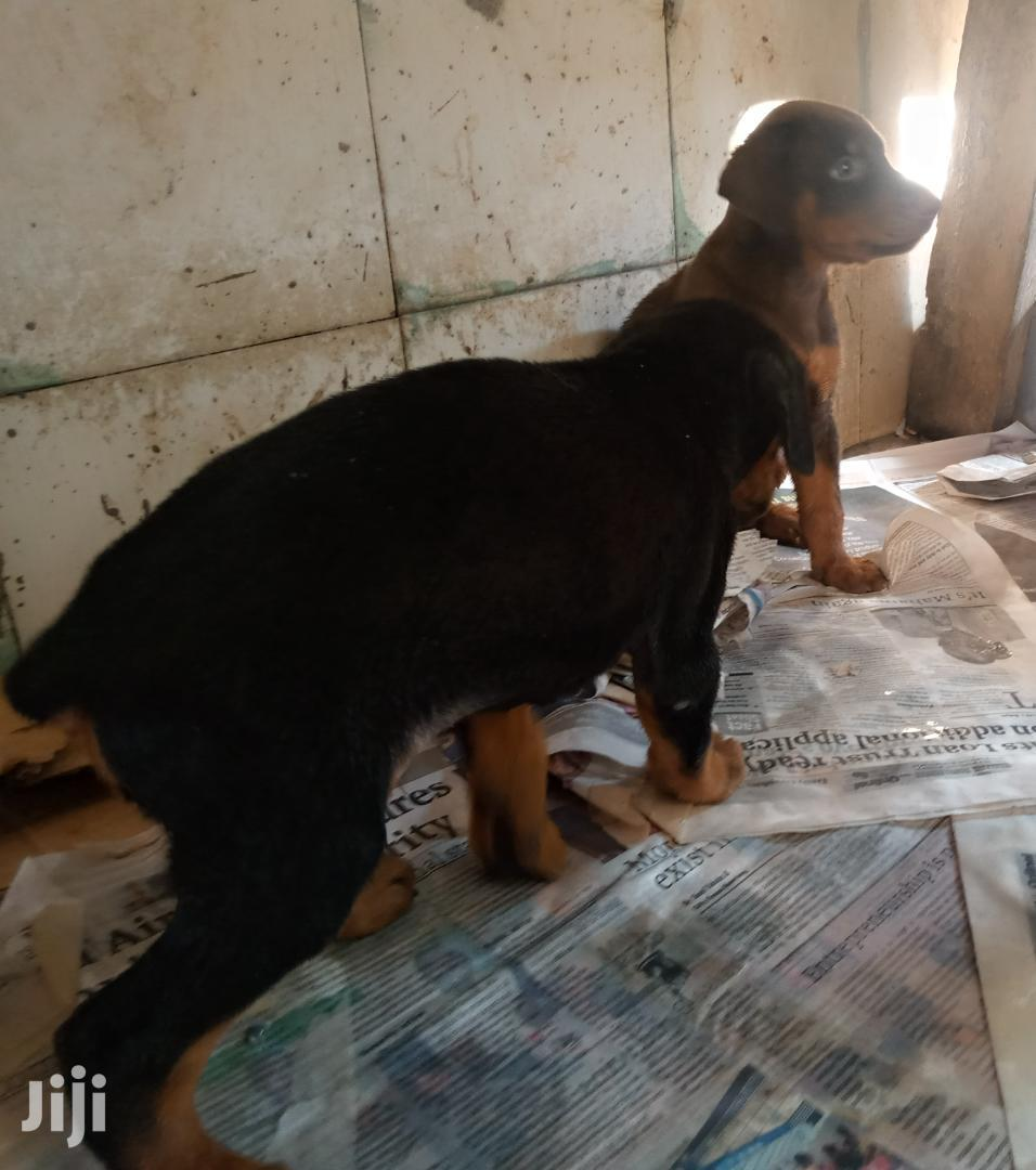 1-3 month Male Purebred Doberman Pinscher