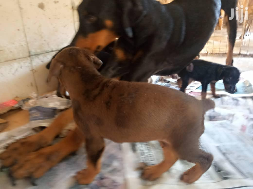 1-3 month Male Purebred Doberman Pinscher | Dogs & Puppies for sale in Ga West Municipal, Greater Accra, Ghana